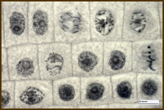 mitosis in onion root tip cells To understand the process and different stages of mitosis and to visualize different phases of mitosis.